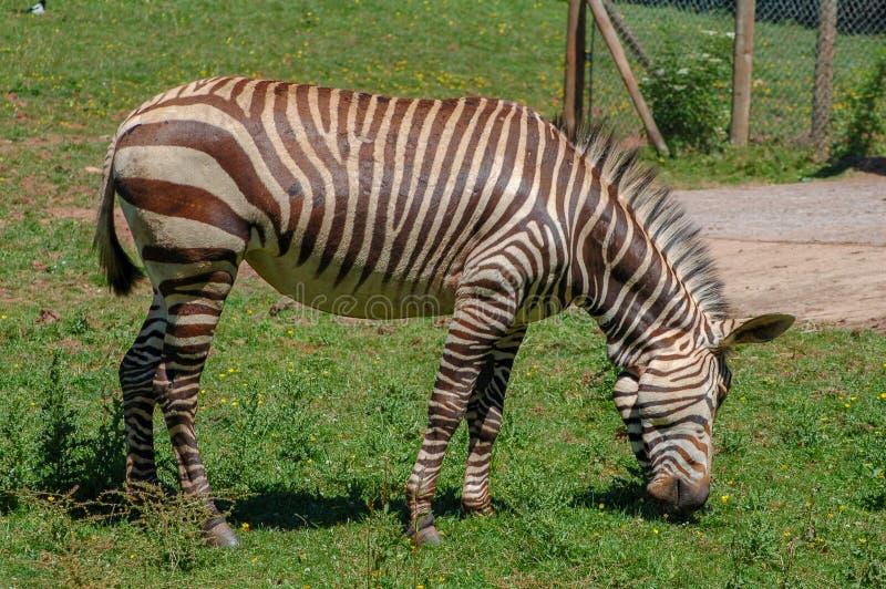 Uma zebra no jardim zoológico de Paignton, Paignton, Devon, Reino Unido imagem de stock