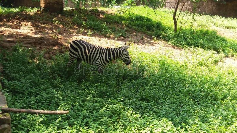 Uma zebra no jardim zoológico de patna fotografia de stock