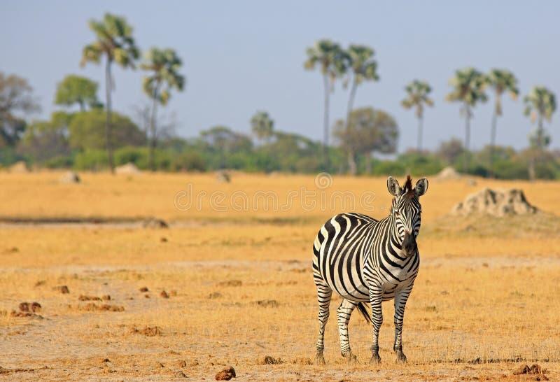 Uma zebra solitária de Burchell - quagga do Equus - posição no yel secado fotografia de stock royalty free