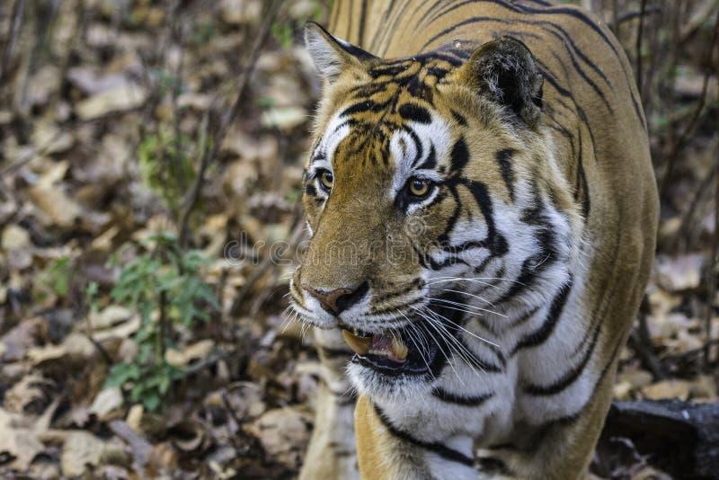 Umar Pani, tigre masculin T30 de Kanha images libres de droits