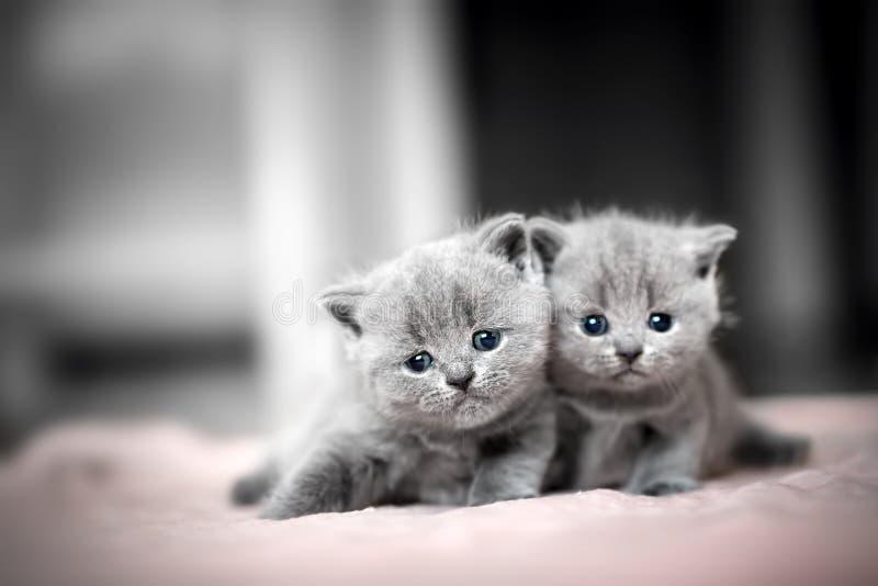 Umarmung mit zwei nette Kätzchen Britisches Shorthair lizenzfreie stockfotografie