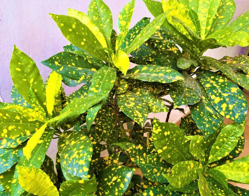 Umas folhas amareladas & verdes bonitas foto de stock
