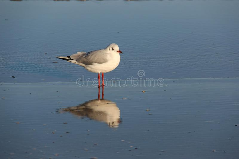 Umas gaivota e reflexão Vida fácil imagem de stock