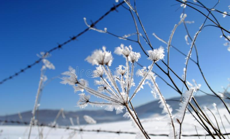 Umbel που καλύπτεται με τα κρύσταλλα πάγου στοκ φωτογραφίες με δικαίωμα ελεύθερης χρήσης