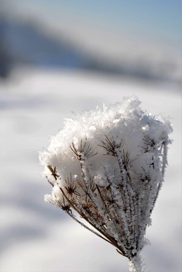 Umbel που καλύπτεται με το χιόνι στοκ εικόνα