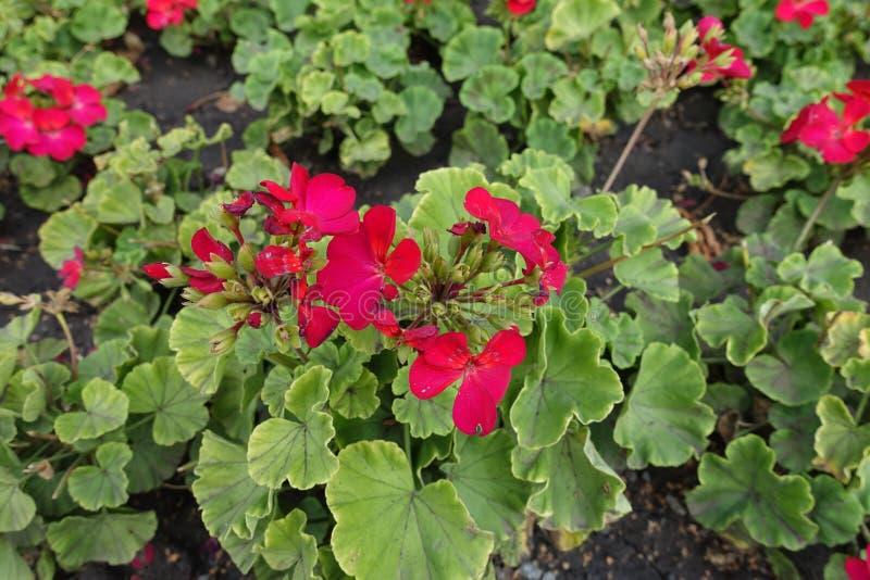 Umbel των κόκκινων λουλουδιών του ζωνικού πελαργονίου στοκ εικόνες