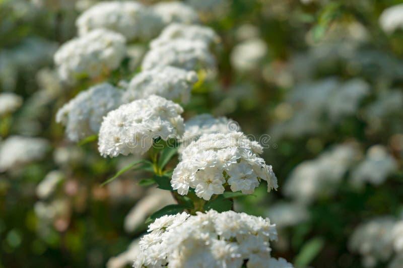 Umbel aiment le fond de nature de fleurs blanches photo stock