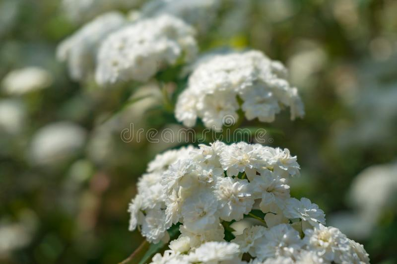 Umbel aiment le fond de nature de fleurs blanches photos libres de droits