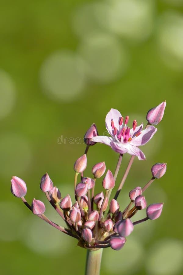 Umbel, botões e única flor cor-de-rosa da precipitação de florescência - orientação do retrato foto de stock royalty free