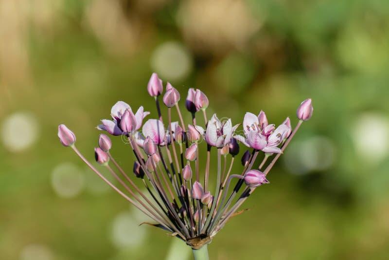 Umbel com as flores cor-de-rosa elegantes da flor de florescência da precipitação ou da cisne imagens de stock
