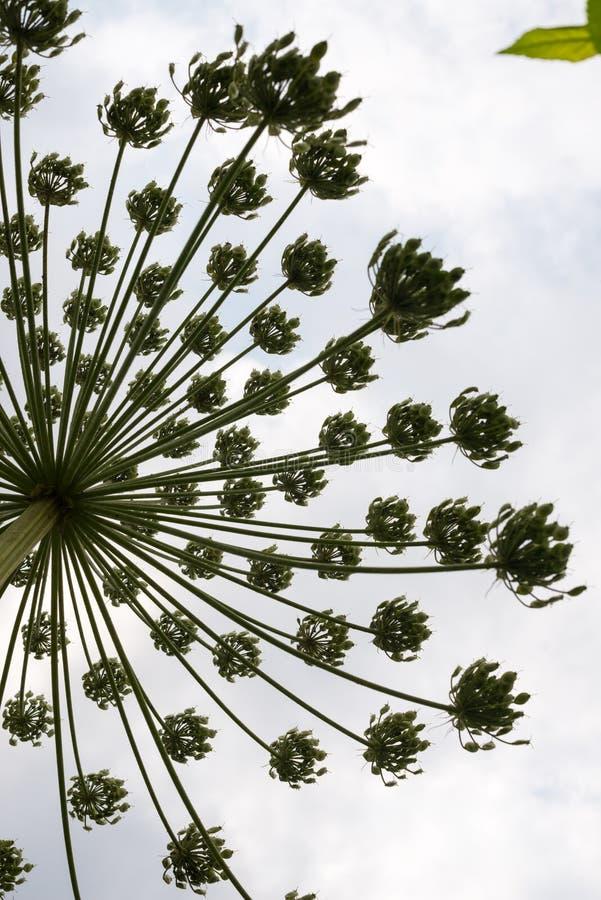 Umbel com as sementes do hogweed foto de stock