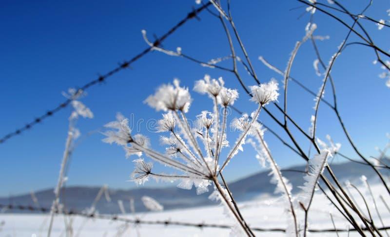 Umbel a couvert de cristaux de glace photos libres de droits