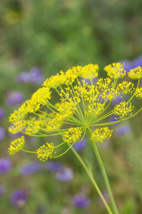 Umbel d'aneth contre le fond vert et les fleurs bleues images libres de droits