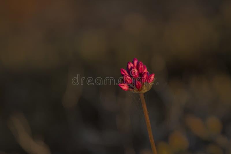 Umbel do amethystninum do Allium, alho poró redondo-dirigido fotografia de stock royalty free