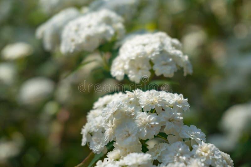 Umbel gosta do fundo da natureza das flores brancas fotos de stock royalty free