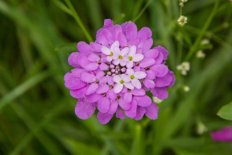 Umbellate blommaIberis arkivbild