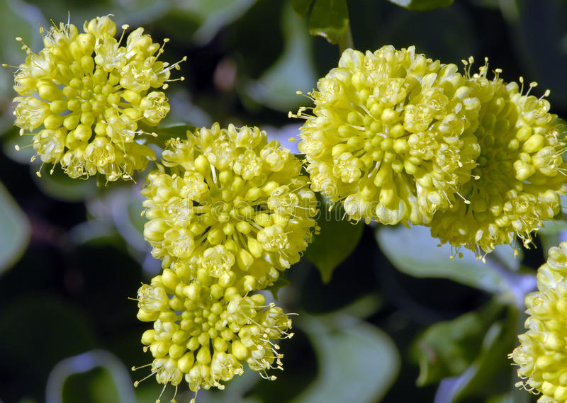Umbellatum de Eriogonum fotografia de stock