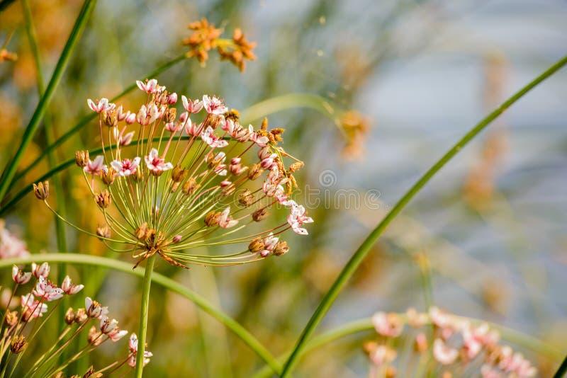 Download Umbellatus di Butomus fotografia stock. Immagine di palude - 56887878
