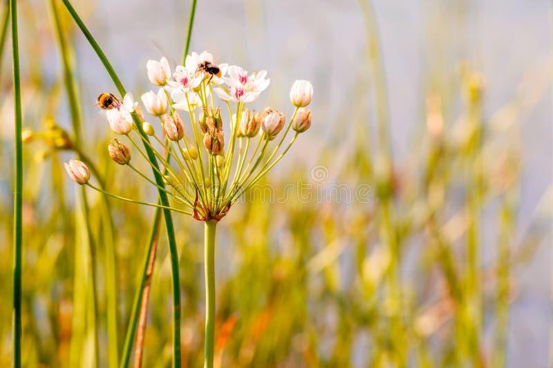 Download Umbellatus di Butomus fotografia stock. Immagine di stamen - 56888384