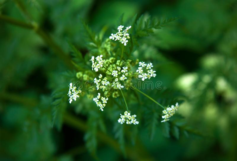 Umbelliferae family plant. White flowers of Apiaceae or Umbelliferae family plant. Photo with a shallow depth of field stock images