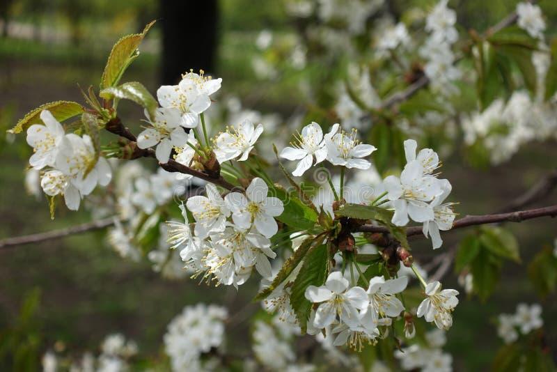 Umbels van witte bloemen van kers royalty-vrije stock foto