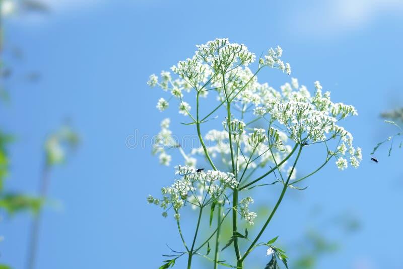 Umbrella inflorescence of white flowers against a blue sky stock photos