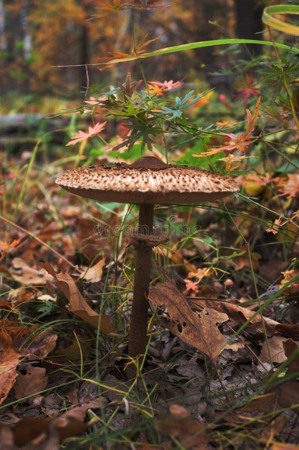 "The ""umbrella"" mushroom royalty free stock photos"