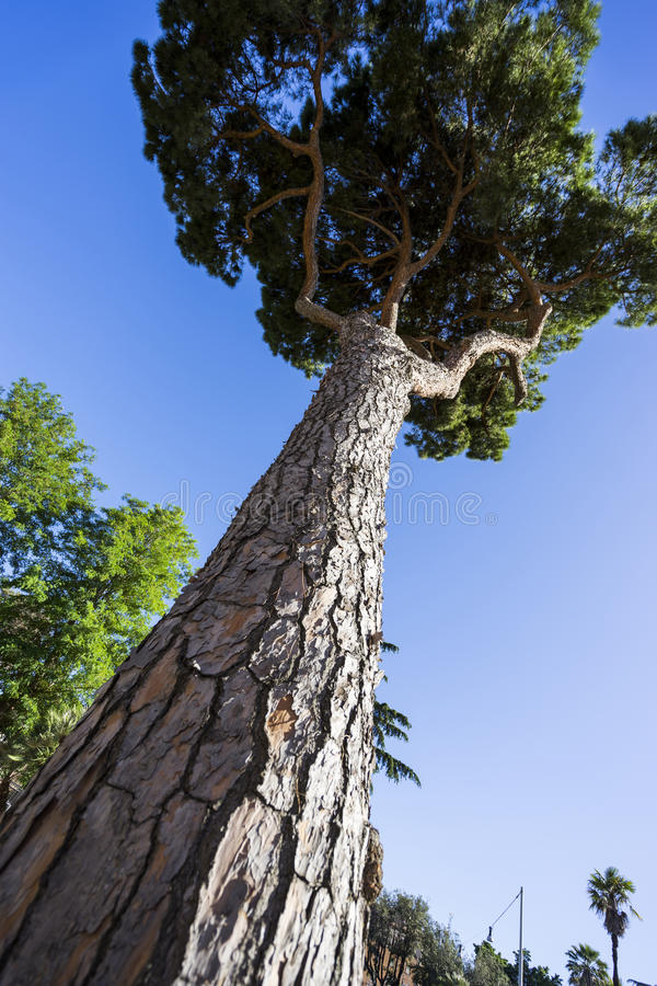 Umbrella Pine Trees Pinus pinea in Rome, against Blue Sky. Rom royalty free stock photo