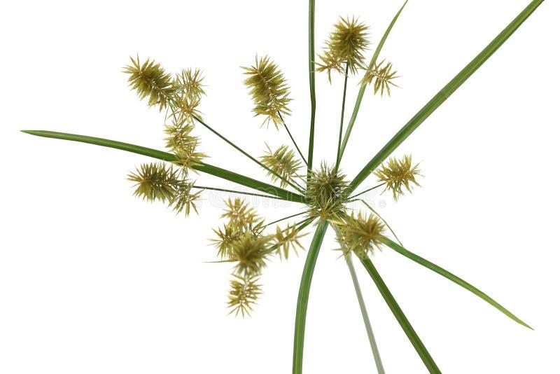 Umbrella Sedge. Cyperus eragrostis Umbrella Sedge grass flower isolated on white stock photos