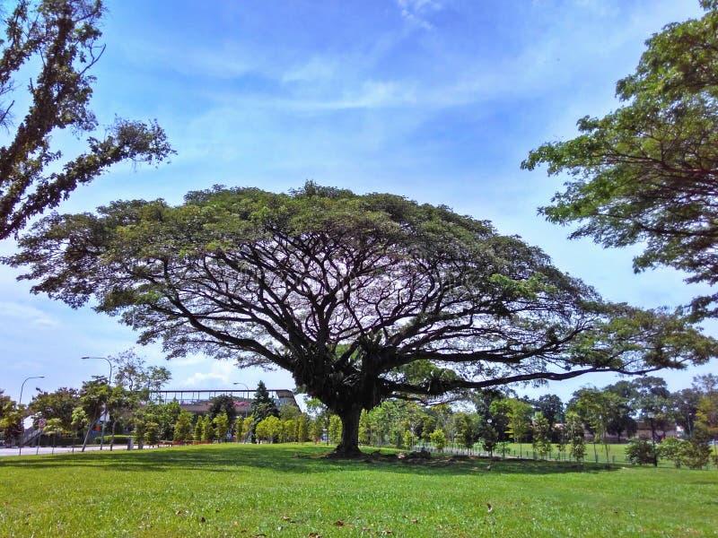 Umbrella-shaped rain tree royalty free stock photography