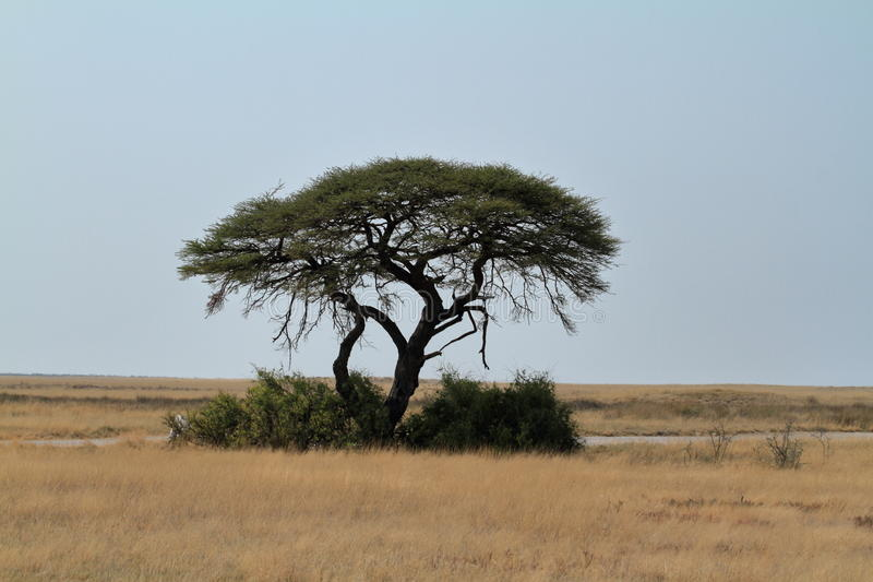 Umbrella Thorn Acacia royalty free stock images
