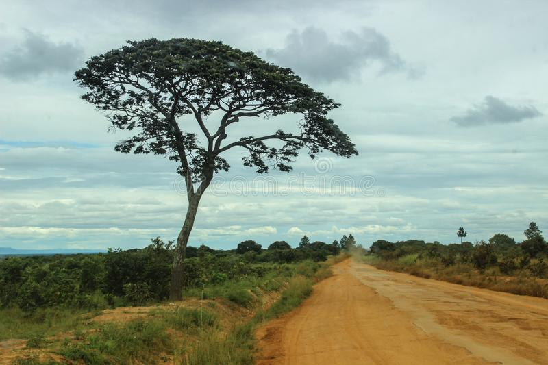 Umbrella Thorn Acacia - the classic picture of the African stock photos