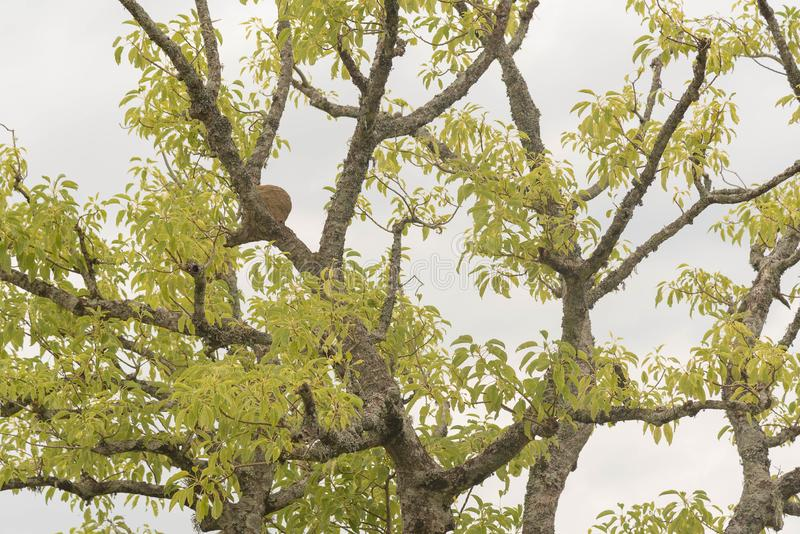 Umbu树在冬天早晨02 库存照片