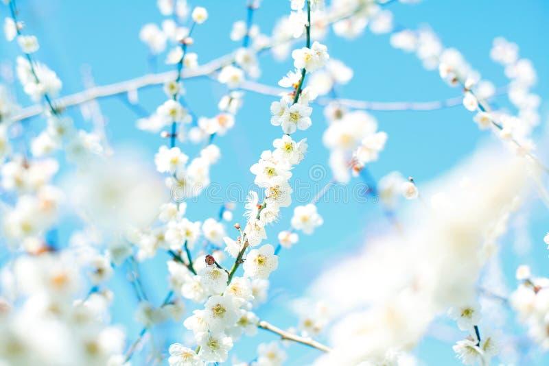 Download Ume blossom stock photo. Image of close, freshness, beautiful - 23958236