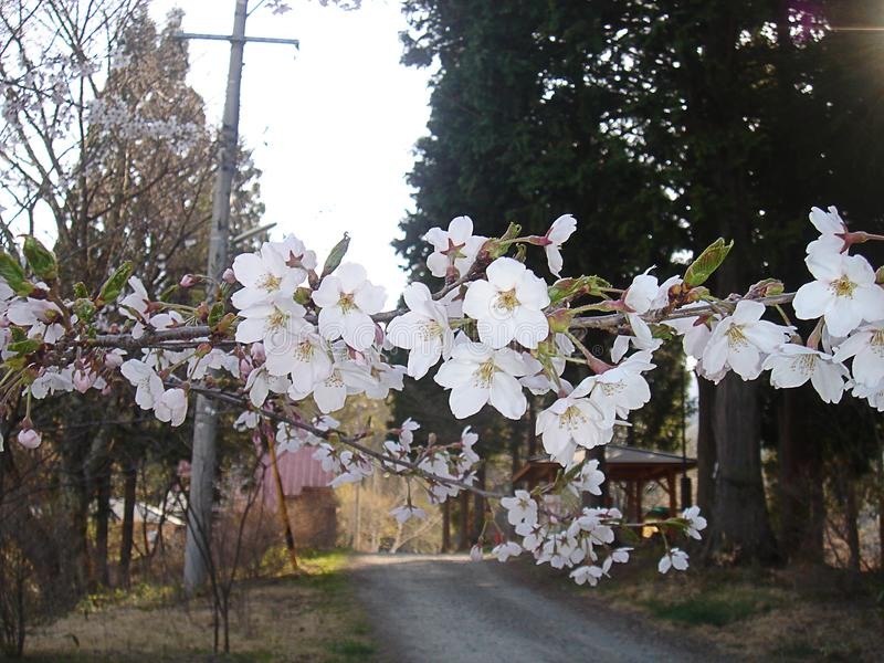 Ume flower. Japan flower flowers spring japan oriental white ume beatiful inaka, florest, outdoor royalty free stock photos