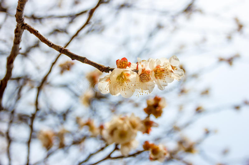 Ume flower in japan temple royalty free stock photography
