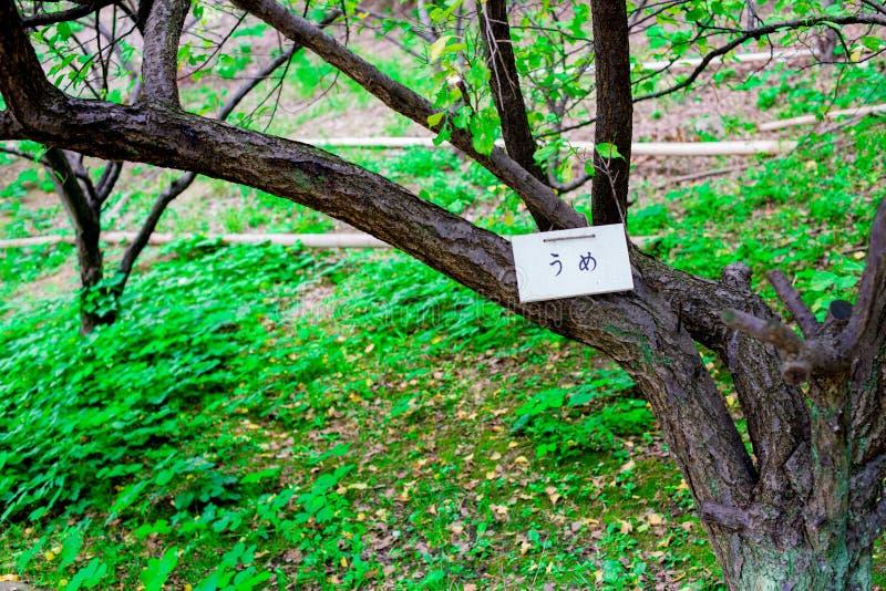 Ume träd i Kyoto, Japan Kyoto är themed med den japanska traditionella atmosfären från längesedan I sommartid som är internatione arkivfoton
