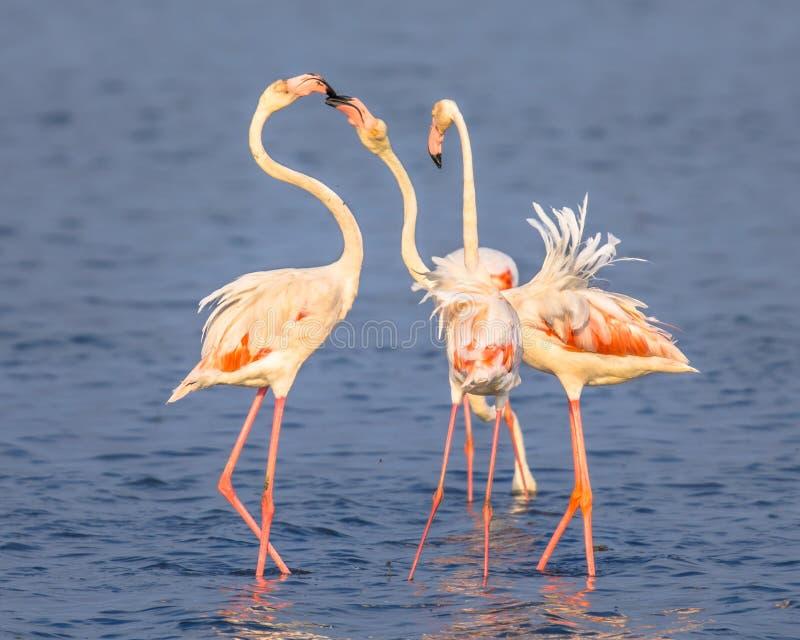 Umg?s f?r fyra flamingo royaltyfri bild