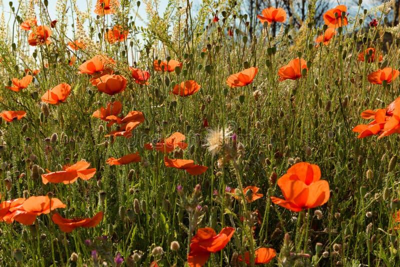 Umgeben durch Poppy Bloom 2 stockbilder