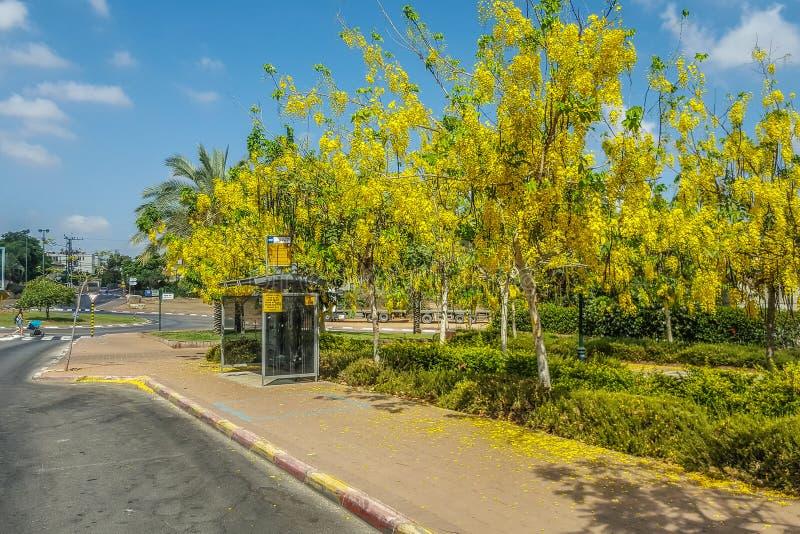 Umgebene Bäume des goldenen Regens der Bushaltestelle stockfoto