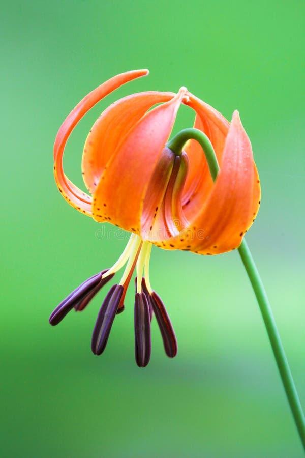 Umgedrehte orange Lilie auf einem grünen Hintergrund lizenzfreies stockbild