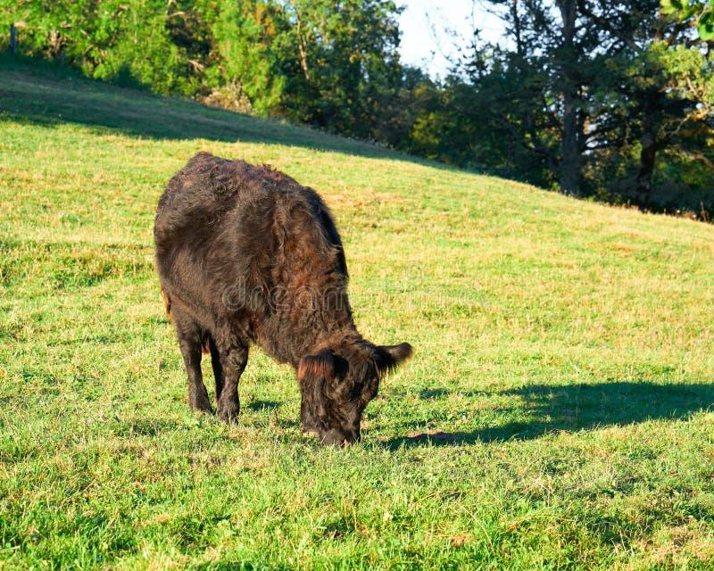 Umgeschnallte Galloway-Kuh in der Weide, die Gras steht und isst stockbild