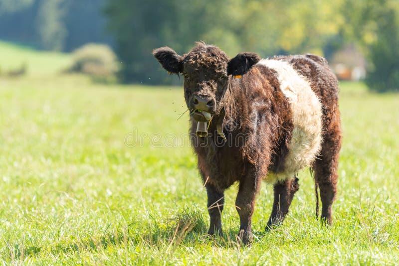 Umgeschnallte Galloway-Kuh steht in einer saftigen Weide im Bayern Deutschland stockfotos