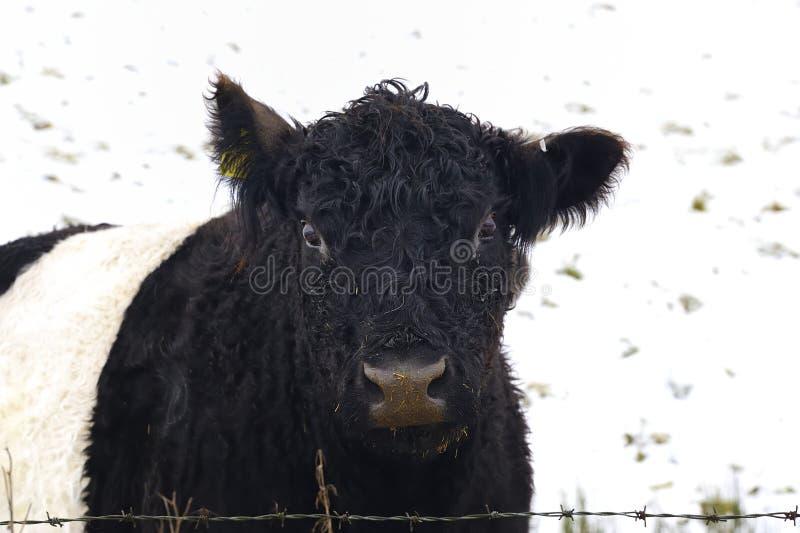 Umgeschnalltes Galloway-Vieh lizenzfreie stockfotografie