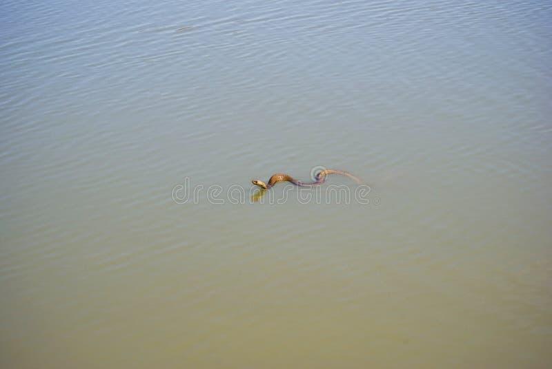 Umhang-Kobra-Schwimmen in der Verdammung lizenzfreies stockfoto