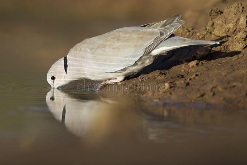 Umhang-Schildkröte tauchte (Streptopelia capicola), Botswana stockfotos