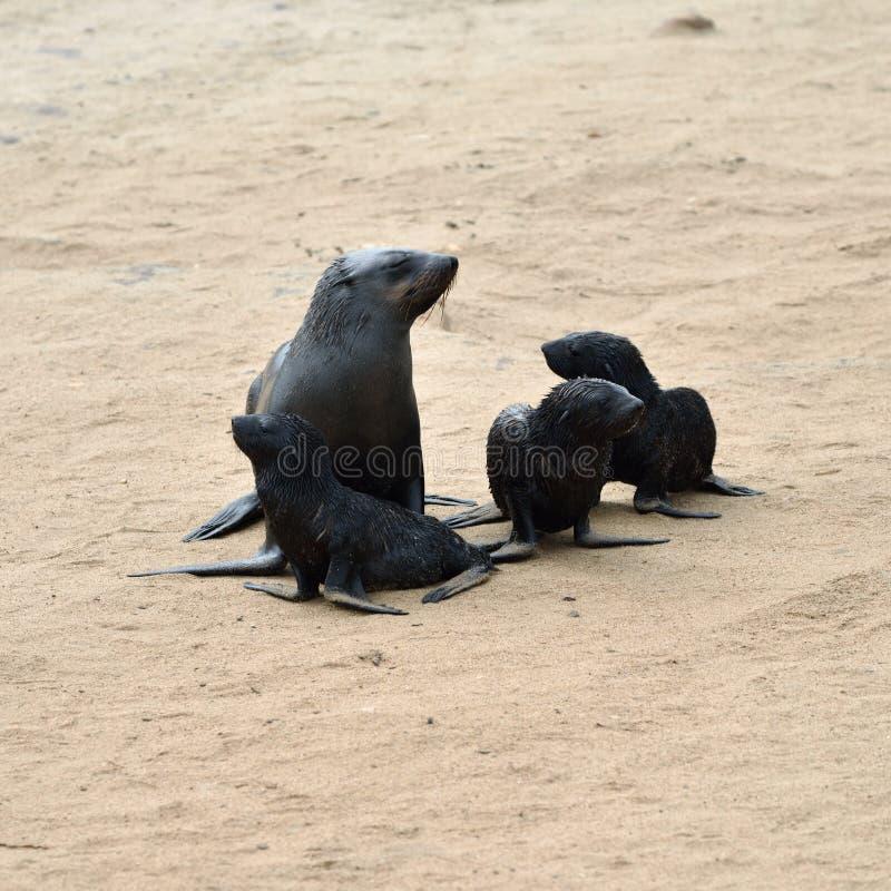 Umhangpelzdichtungen, Skeleton Küste, Namibia lizenzfreie stockfotos