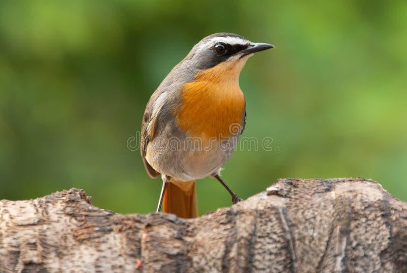 Umhangrotkehlchen-Schwätzchenvogel stockbild
