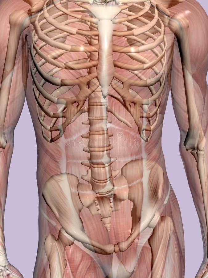 Umięśniona Zredukowany Anatomii Człowieka Przejrzysta Obrazy Royalty Free
