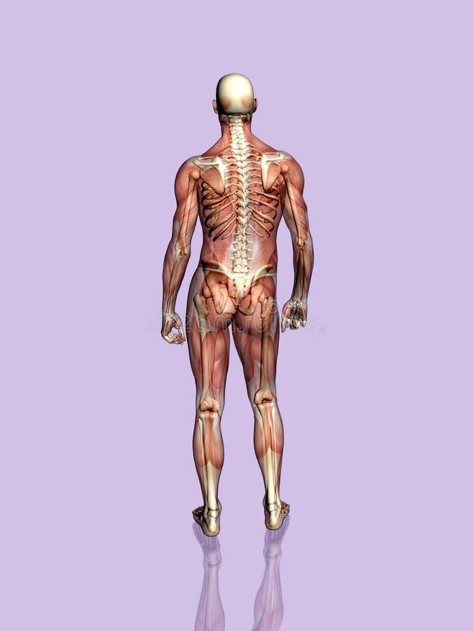 Umięśniona Zredukowany Anatomii Człowieka Transparant Zdjęcie Royalty Free